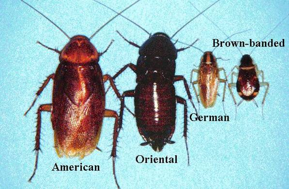 Cockroach types 08-28-2013